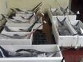 lavorazione e fornitura prodotti ittici freschi nel cuore dell'adriatico a san benedetto del tronto