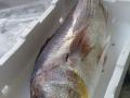 pesce azzurro dell'adriatico dal mercato ittici di san benedetto del tronto per fornitori e grossisti di tutta italia