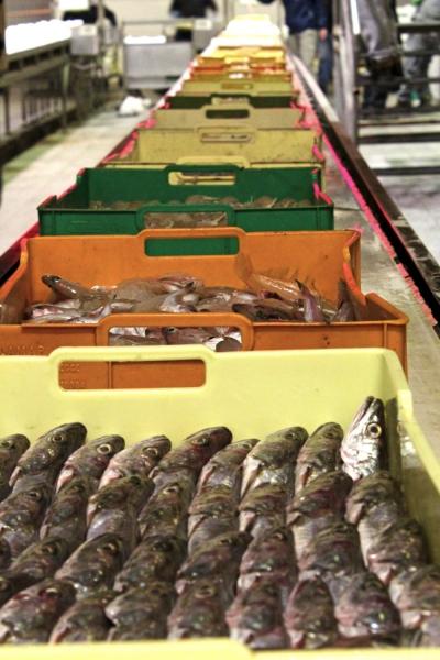 particolare del nastro trasportatore del mercato ittico san benedetto del tronto